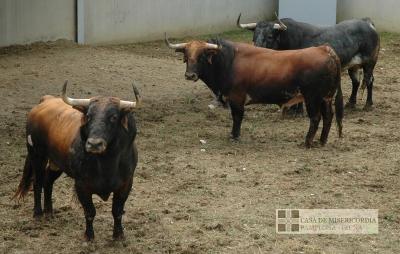 Ejemplares de la Ganadería de Cebada Gago en su desembarque en los Corrales del Gas de Pamplona