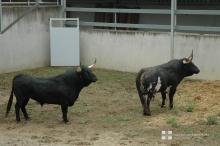 Toros de Cebada Gago en los Corrales del Gas, 30 junio 2017