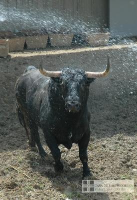Toros de la Ganadería de Fuente Ymbro llegando a los Corrales del Gas de Pamplona, 30 junio 2018