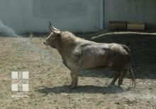 Toros de Fuente Ymbro en los Corrales del Gas