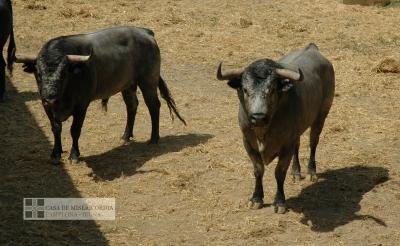 Toros de la Ganadería abulense de José Escolar pastando en los Corrales del Gas