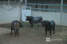 Toros de José Escolar en los Corrales del Gas 2017