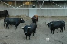 Toros de Núñez del Cuvillo en los Corrales del Gas