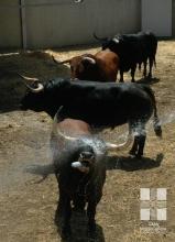 Toros de Núñez del Cuvillo en su desembarco en los corrales del Gas, 4 julio 2016