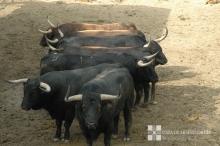 Toros de Victoriano del Río en los Corrales del Gas