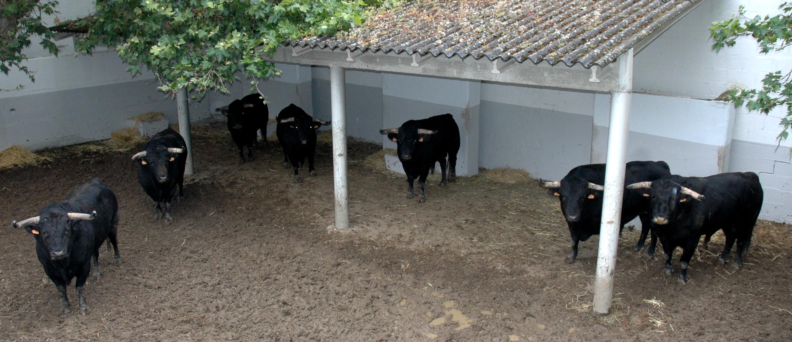 Toros del niño de la capea en los corrales de la plaza de toros de Pamplona, despuntados para rejones.