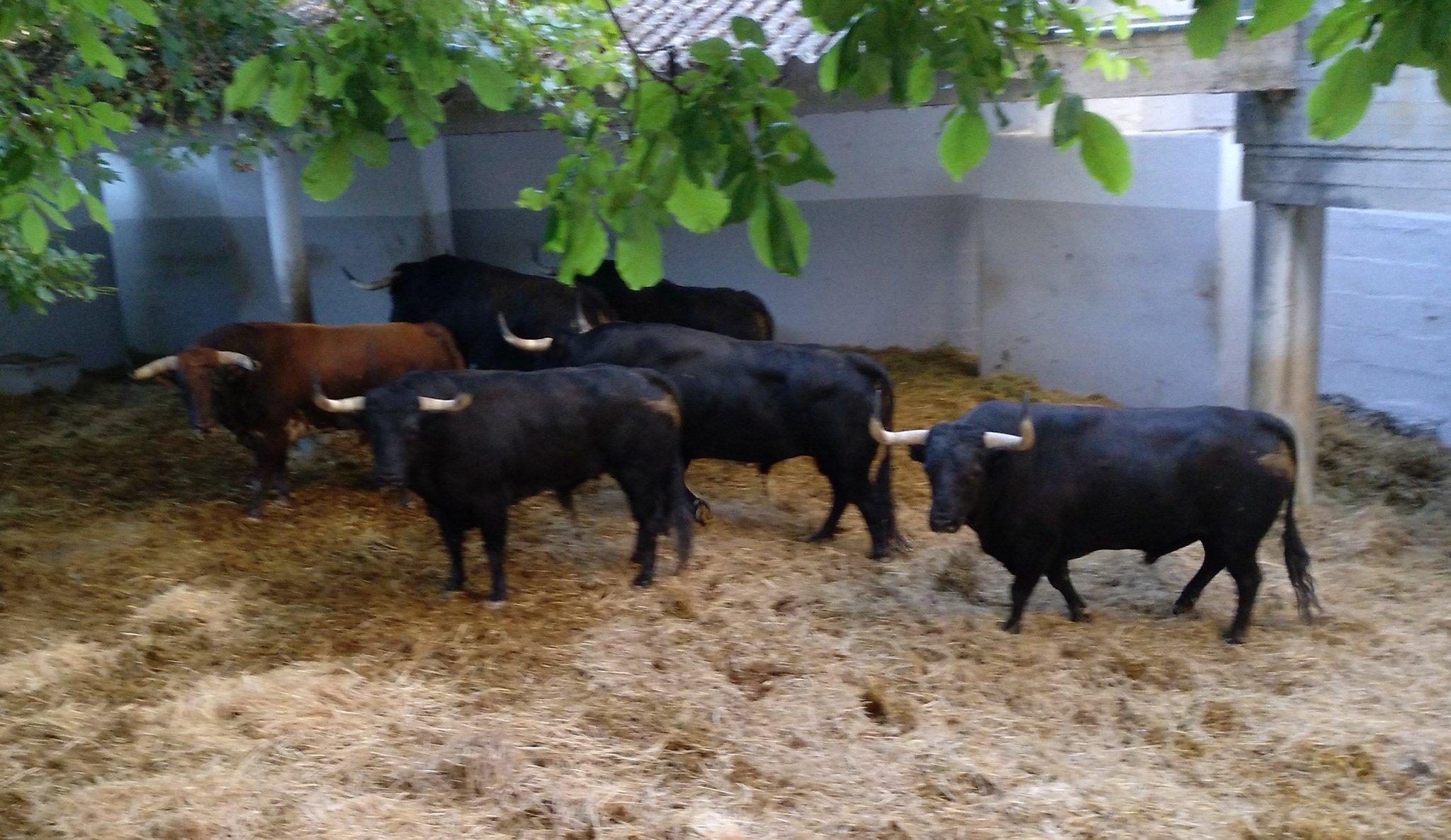 Toros en los corrales de la Plaza de Toros de Pamplona