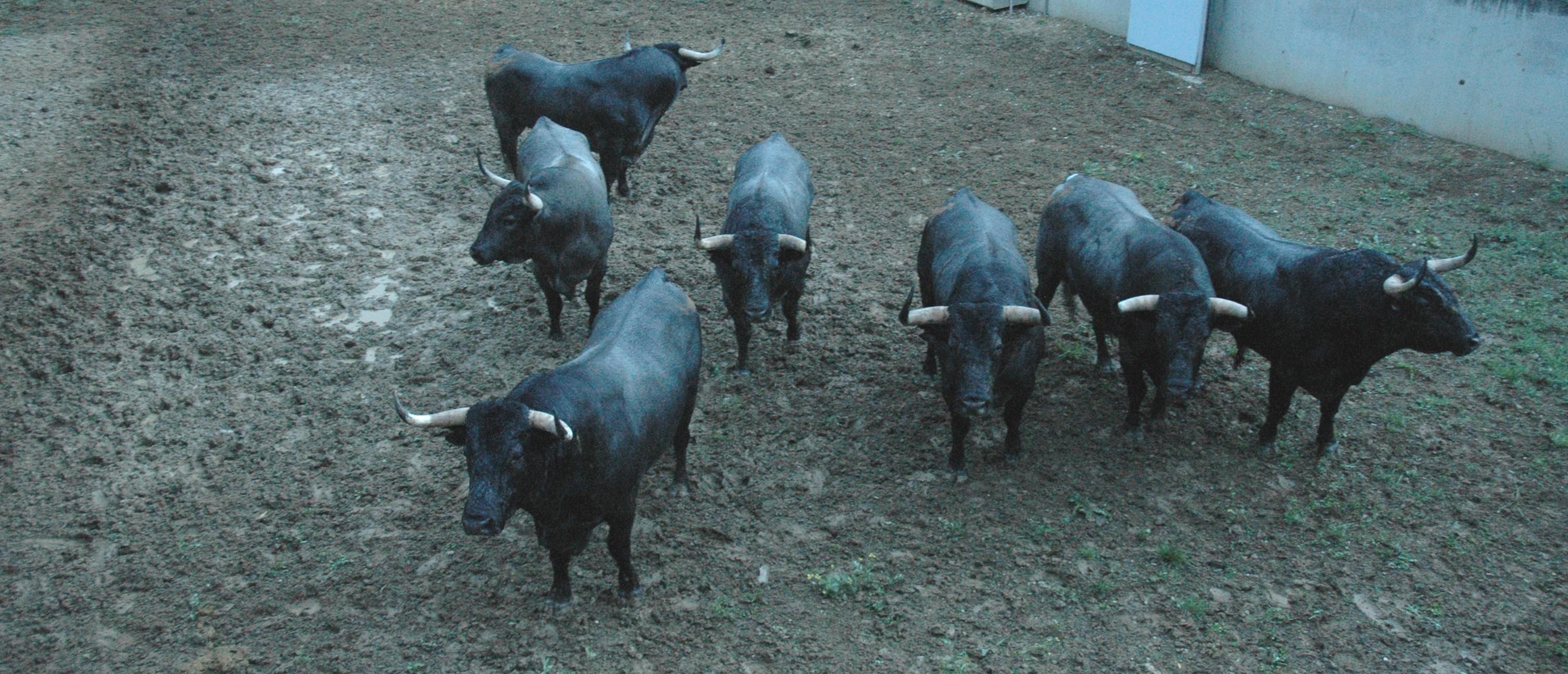 Siete toros cárdenos de José Escolar en la penumbra de los Corrales del Gas.