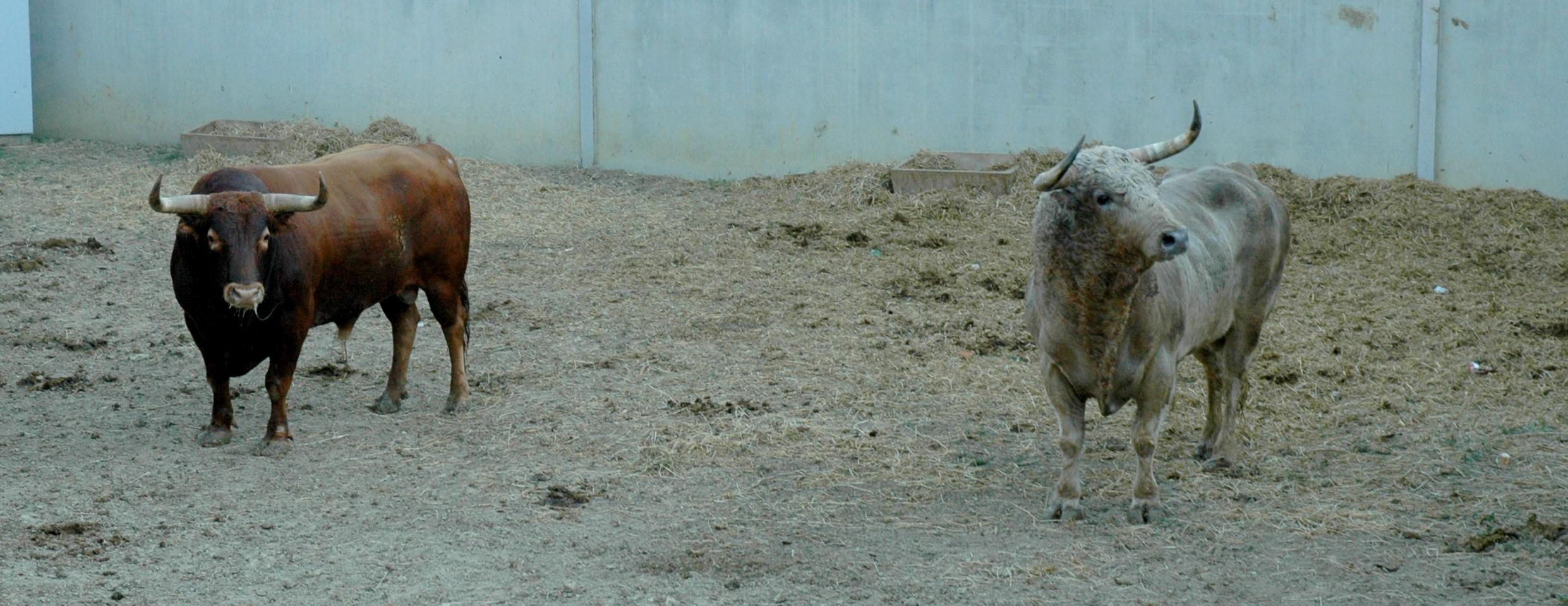 Dos toros de Jandilla en los corrales del gas. A la izauierda uno castaños y ojo perdiz, a la derecha uno jabonero.