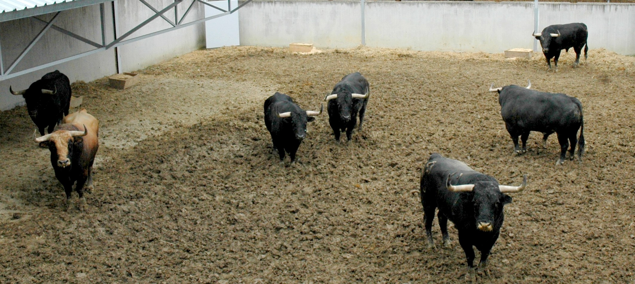 Toros del Puerto de San Lorenzo sobre el barro de los Corrales del Gas. Seis toros negros y uno castaño claro.
