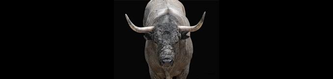 Toro cárdeno de José Escolar sobre fondo negro